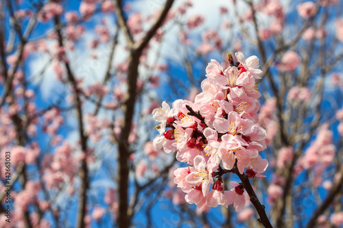Poster Cherry Blossom, Sakura season in Japan.