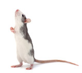 Cute little decorative rat standing on the back of the paws.. - 142672264