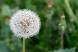 dandelion - taraxacum sect. ruderiala - close up