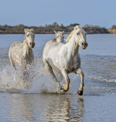 White Camargue Horses run in the swamps nature reserve in Parc Regional de Camargue - Provence, France