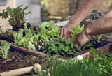 Pflücksalat im Hochbeet am Balkon anpflanzen - 142718226