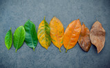 Leaves of different age of jack fruit tree on dark stone background. Ageing  and seasonal concept colorful leaves with flat lay and copy space. - 142742601