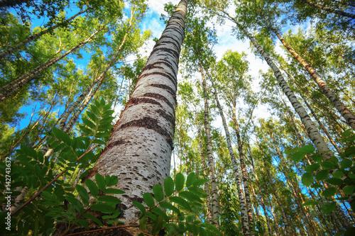 Papiers peints Bosquet de bouleaux summer in sunny birch forest