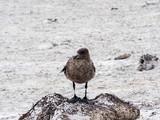 Brown skua, Stercorarius antarcticus on the Sea Lion Island, Falkland / Malvinas
