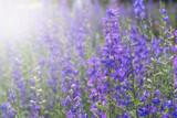 beautiful purple flowers field for background. Filter effect stye