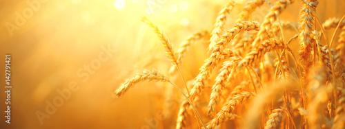 Pole pszenicy. Ucho złoty zbliżenie pszenicy. Koncepcja zbiorów