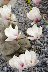 ..............Garten, Natur, Skulptur, Magnolie, Frühling