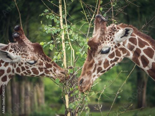Couple giraffes feeding on leafs Poster