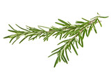 Two sprig of rosemary isolated on white background - 142834406