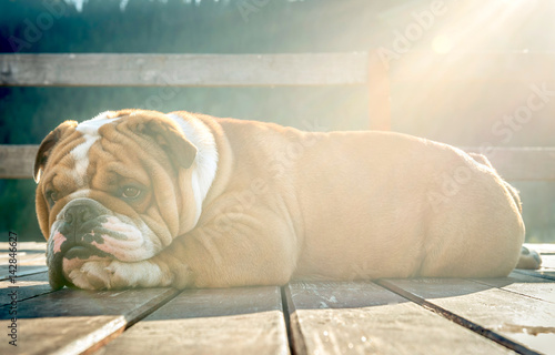 Poster Sleepy English bulldog