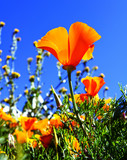Antelope Valley, California Poppy Bloom April 1, 2017