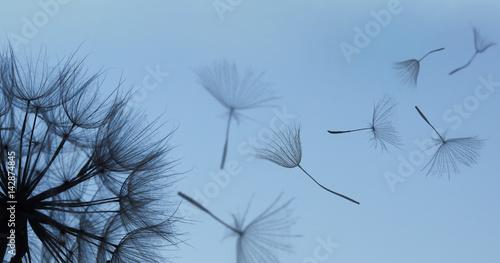 Dandelion silhouette fluffy flower on blue sunset sky - 142874845