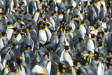 King penguins colony at South Georgia - 142881693