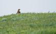 Common buzzard (Buteo buteo) sits on the field, Kalmykia, Russia