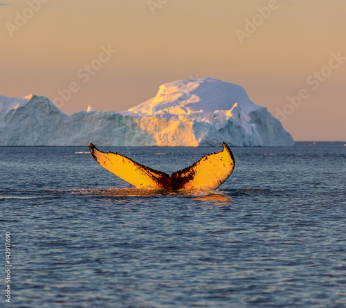 Plakat Whale dive near Ilulissat among icebergs. Their source is by the Jakobshavn glacier. The source of icebergs is a global warming and catastrophic thawing of ice, Disko Bay, Greenland