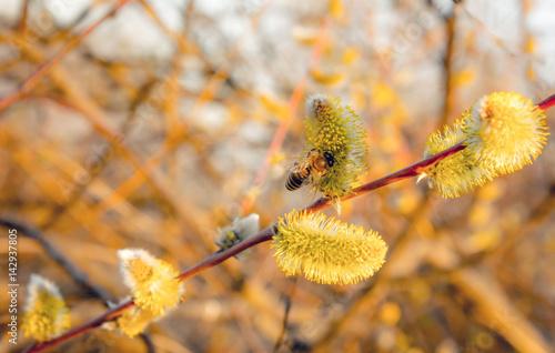 Poster Весенний луг. Медоносная пчела собирает нектар