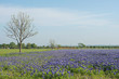 Field of Bluebonnet, wild flowers in spring time at TEXAS, filtered tones