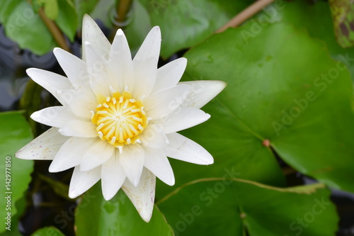 Beautiful water lily or white lotus in a pond. Poster