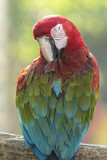 Close up Scarlet Macaw