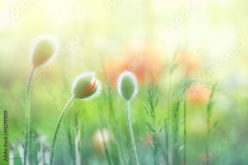 Zdjęcia na płótnie, fototapety na wymiar, obrazy na ścianę : Delicate fluffy poppy buds in a field on nature in sunlight on a light green background macro. Spring summer background Border template for design. An airy gentle artistic image.
