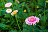 Yellow hearted gerbera flower with pink petals from close