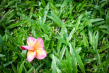 the red yellow and white plumeria flower is drop on green grass