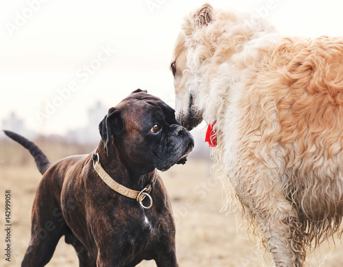 Walking boxer dog and Russian wolfhound
