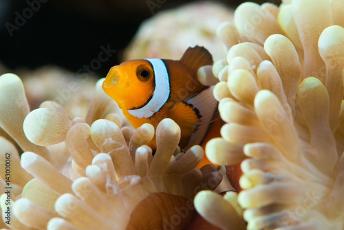 Póster peculiar clown fish hosting on anemone