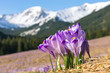 Crocuses. Tatras mountains. Mountain landscape