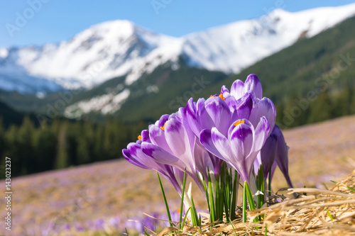 Crocuses. Tatras mountains. Mountain landscape