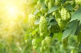 Green fresh hop cones for making beer, closeup - 143030631