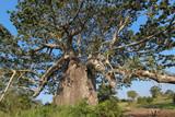Beautiful and huge Baobab at Kissama National Park – Angola