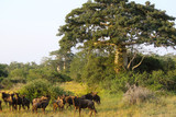 Wildebeest grazing close a baobab at Kissama National Park – Angola