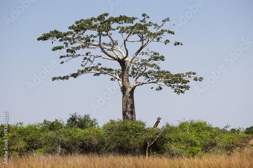 Poster Baobab Giraffe under the shadow of a baobab at Kissama National Park – Angola