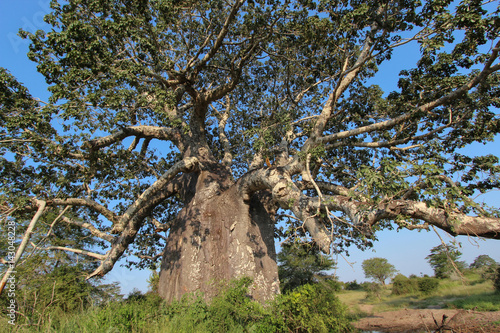 Aluminium Baobab Beautiful and huge Baobab at Kissama National Park – Angola