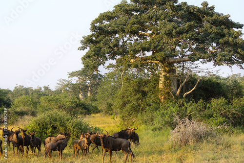 Foto op Canvas Baobab Wildebeest grazing close a baobab at Kissama National Park – Angola