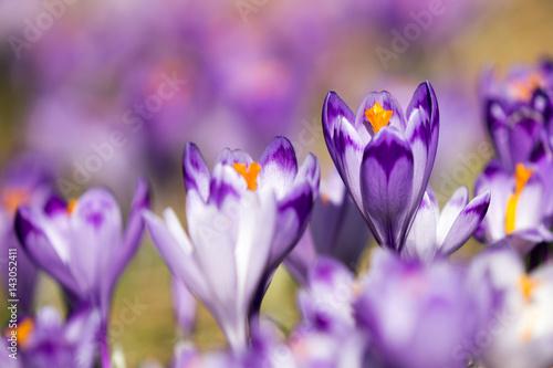 Fototapety, obrazy : Beautiful colored crocus flowers