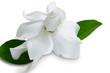Gardenia jasminoides or Cape jasmine flower on white background.