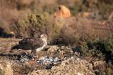 The Bonelli's eagle (Aquila fasciata) on a rock with prey