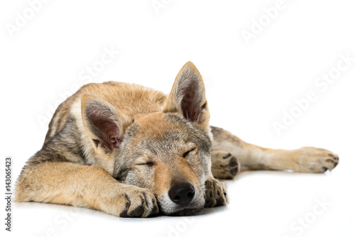 Poster Schlafender Wolfshundwelpe