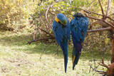 Two colorful, timid parrots on a dead branch.