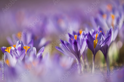 Beautiful colored crocus flowers