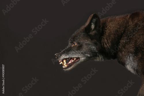 Aluminium Wolf Schwarzer Wolf fletscht die Zähne als Studioaufnahme