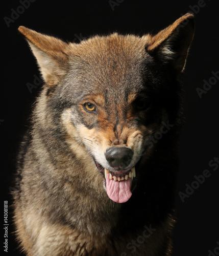 Fotobehang Wolf Wolf fletscht die Zähne, frontal als Studioaufnahme