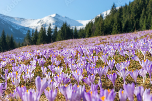 Fototapety, obrazy : Crocuses. Tatras mountains. Mountain landscape