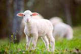 Lamb grazing on green grass meadow - 143090077