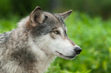 Grey Wolf (Canis lupus) Profile to Right
