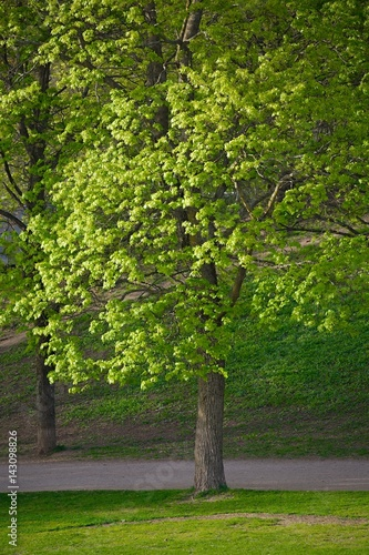 Green tree in a park Poster
