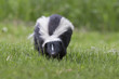 Striped skunk (Mephitis mephitis)  in spring