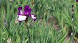 Blossoming iris in a garden